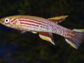 Aphyosemion ogoense pyrophore GANB 06-02_1257