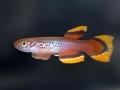 Aphyosemion_celiae_celiae_BOS2010
