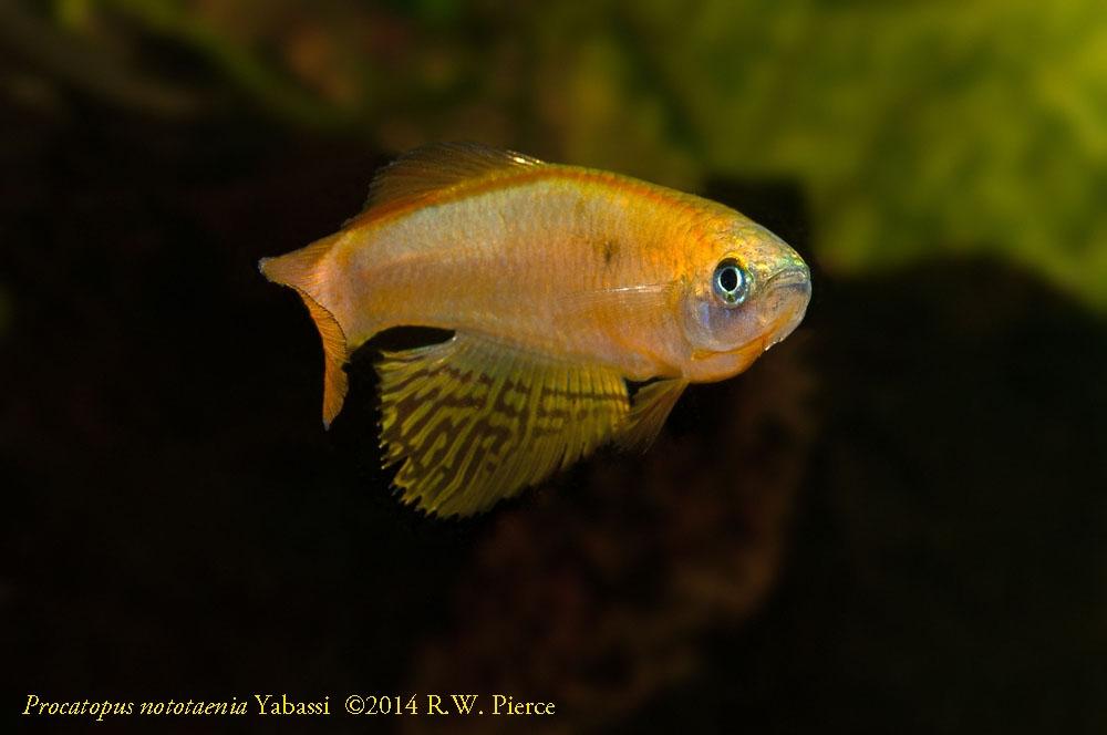 Procatopus nototaenia Yabassi 1000 x 700