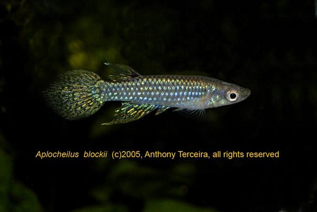 T-Aplochilus-blockii-fb.jpg