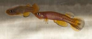 Cynodontichthys sp QUB Buenos Aires PAN 2012-12
